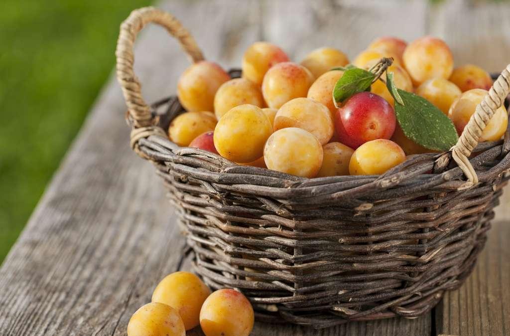 La saison des mirabelles est très courte : en tarte, en confiture ou à déguster, profitez-en ! © kasparart, Adobe Stock